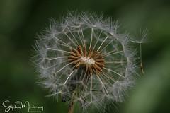 Dandelion (stephenmulvaney) Tags: dandelions seedheads seeds flowers tamron90mm macro
