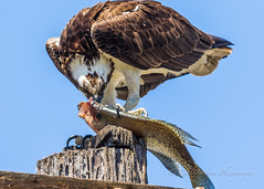 Focused feeding (cbjphoto) Tags: carljackson photography sanjoaquin wildlife sanctuary