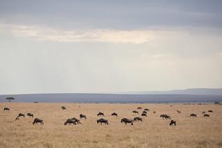 White Bearded Wildebeest on the Plains