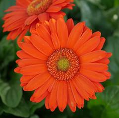 orange gerbera (foxtail_1) Tags: panasonic g85 panasoniclumixg85 gerbera gerberadaisy orangegerbera