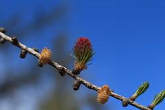 fleurs de mélèze (bulbocode909) Tags: valais suisse alpagedutronc montchemin mélèzes fleurs branches printemps nature montagnes vert bleu rouge