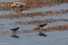 Least Sandpiper & Baird's Sandpiper   Sweetwater Wetlands   Tucson   AZ 2017-04-21 08-15-01.jpg