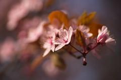 Black Cherry Plum / Ornamental Plum (Prunus cerasifera 'Nigra') (Stefan Zwi.) Tags: 105mm f28 sigma sony a7 ilce7 emount farbe flora closeup macro nature hbw blackcherryplum ornamentalplum prunuscerasiferanigra ngc npc