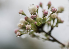 In my element (Jan.Timmons) Tags: select sprinkles fog mist fruittreeblossoms raindrops monopod jantimmons pacificnorthwest joy amomentofjoy macro tinyblossoms