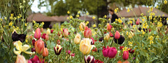 tulips (kwaque) Tags: iscorama pre 36