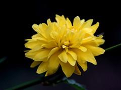 Kerria japonica 'Pleniflora' Ranonkelstruik (Ruud de Block) Tags: rosaceae kerriajaponicapleniflora ruuddeblock