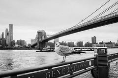 New York City (tinto) Tags: 2017 28mm fuji fujifilm fujilove fujix100t fujixseries manhattan mirrorless newyork nyc tintography vsco vscofilm wclx100 wideangel x100t seagull eastriver skyline blackandwhite brooklynbridge brooklyn river downtown city urban bw animal newyorkcity usa