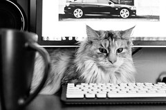 Ziva Trying to Participate (Nicholas Erwin) Tags: friends bw pet white black home cup coffee monochrome animal cat office nikon keyboard feline flickr photographer desk maine kitty lifestyle coon meow nikkor ziva 175528 d7000
