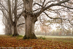 Standing firm (Terry Yarrow) Tags: uk autumn trees light england mist leaves canon landscape woods atmosphere dorset avenue beech contrejour eos5d badburyrings