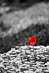 Dear Flickr staff, (Takashi(aes256)) Tags: park flower tulip   selectivecolour showakinenpark   nikond4  nikonaiafmicronikkor200mmf4difed