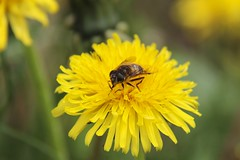 Fine and dandy..... (TakenByMkWil) Tags: flower fly weed dandelion