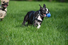 Dogs @IMA, 09-30-2012 078 (Hazel the Boston Terrier) Tags: boston terrier hazel indianapolismuseumofart