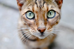 (Aj Li) Tags: macro cute green animal cat print fur nose eyes kitten pattern ears whiskers leopard fixed cheetah pupils