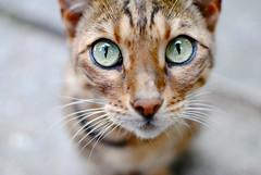 (Aj Li) Tags: macro cute green animal cat print fur nose eyes kitten pattern ears whiskers leopard fixed cheetah pupils