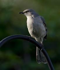 Mockingbird Perched in the Morning Sun_DSC0882 (DansPhotoArt) Tags: bird nature fauna garden backyard nikon wildlife aves mockingbird freshness passaros d7100