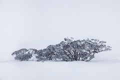 Winter Dream (Tim Donnelly (TimboDon)) Tags: camping trees snow canon head australia gums rams blizzard ramshead thredbo snowymountains treesubject snowyregion southramshead