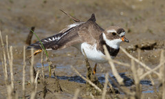 Semipalmated Plover by Steve Gifford (Steve Gifford - IN) Tags: bird nature river photo wildlife steve picture indiana national photograph bottoms steven sandpiper society plover refuge audubon gifford nwr shorebird ias haubstadt semipalmated patoka oatsville