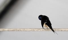 no photos please (Vonella Giorgio) Tags: estate natura uccelli animali rondine