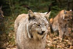 Kasimir again (Cloudtail the Snow Leopard) Tags: wildpark pforzheim tier säugetier animal mammal katze cat feline luchs lynx eurasischer nordluchs cloudtailthesnowleopard