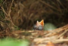Blackbird Nest (RJP_Blob) Tags: uk england macro bird nature birds canon spring dof nest bokeh wildlife sigma 7d eggs chicks blackbird hertfordshire hitchin nesting 105mm springwatch blackbirdnest unhatchedeggs blackbirdeggs