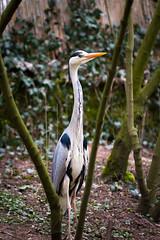 Heron (Cloudtail) Tags: bird heron animal grey zoo grau fisch tier vogel landau reiher