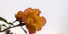 Rose, Bonanza, ,, (T.Kiya) Tags: rose bonanza   flowerfestivalcommemorativepark