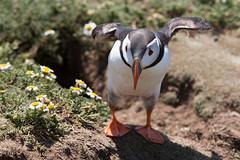 Puffin (MNFischer) Tags: uk wales island puffin pembrokeshire skomer papageientaucher urlaub2013