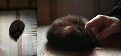 Achilles (orangecrushsoda) Tags: portrait baby blackcat kitten diptych kitty omaha achilles babycat