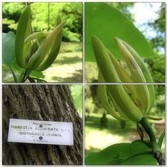 (Tölgyesi Kata) Tags: nemzetibotanikuskert vácrátótibotanikuskert botanikuskert botanicalgarden withcanonpowershota620 mosaic mozaik magnolia magnoliaacuminata magnoliaceae vácrátót fleur virág