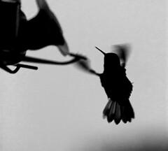 Hummingbird (Joshuaww) Tags: california white black bird photography photo cloudy joshua wildlife feeder salinas photographs photograph humming joshuaww