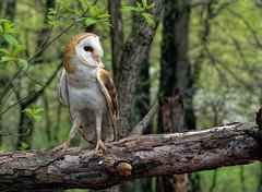 Barn Owl_DSC0401 (DansPhotoArt) Tags: life bird nature fauna nikon earth wildlife raptor owl barnowl wbs worldbirdsanctuary d7100 avianexcellence