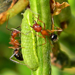 Nanny Ants at Work (bob in swamp) Tags: nikon florida nanny caterpillar organ ants coolpix dorsal nectary lycaenid northpalmbeach ceraunusblue hemiargusceraunus mutualism myrmecophily camponotusfloridanus floridacarpenterant taxonomy:binomial=camponotusfloridanus