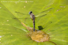 Dragonfly Laying Eggs (P1050452) (Michael.Lee.Pics.NYC) Tags: newyork brooklyn garden puddle lily dragonfly pad eggs botanic hover laying