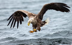 White tailed eagle @ Smøla, Norway......(Explored, my 143th) (Pewald) Tags: sea nature norway fishing eagle wildlife hunting smøla whitetailedeagle