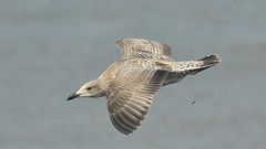 Bombs away (sab89) Tags: new nature rock river brighton fort seagull away perch bombs mersey wirral
