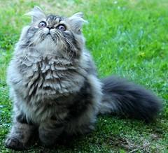 10 (Miiaou) Tags: chaton persan