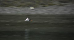 Well I like it! (rockwolf) Tags: bird water flying cornwall flight blurred oystercatcher grainy tidal looe toodark wader eurasianoystercatcher haematopusostralegus butilikeit 2013 rockwolf looeestuary