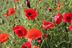 Feliz Quinta Flower (stepheneverettuk) Tags: flowers red canon meadow poppy poppies efs1785mmf456isusm keighley guideinn 60d steveeverett felizquintaflower happyflowerthursday ryecroftroad hainworthshaw