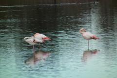 Flaments roses (desmoniac) Tags: bird flamingo marais oiseau étang camargue flament