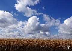 Another field of dreams (jcdriftwood) Tags: sky field clouds cornfield donkey dreams fieldofdreams magicdonkey