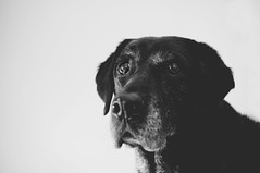 The World Lost One of its Greatest Dogs (Sarah Elsner   Photography) Tags: bridge dog beautiful rainbow lab perfect pretty labrador sad you emma passed miss putdown