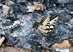 "Tiger Swallowtail Butterfly • <a style=""font-size:0.8em;"" href=""http://www.flickr.com/photos/30765416@N06/11393066384/"" target=""_blank"">View on Flickr</a>"