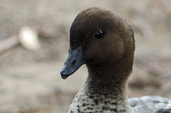 wood duck (Gina L S) Tags: rescue duck nikon australia brisbane animalrescue queensland waterfowl lonepinekoalasanctuary d5100