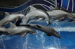 Blue Horizons 6:00 PM (Seals4Reals) Tags: show blue orlando florida dolphin seaworld horizons