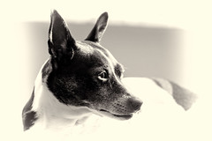 020 - Cookie (Mike Matney Photography) Tags: dog pet animal canon illinois midwest cookie january troy ratterrier 2014 eos7d