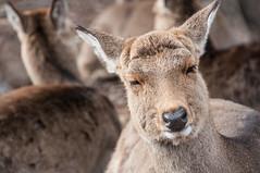 nara_0049 (jam343) Tags: animal japan deer nara japanesedeer 奈良 奈良公園 鹿