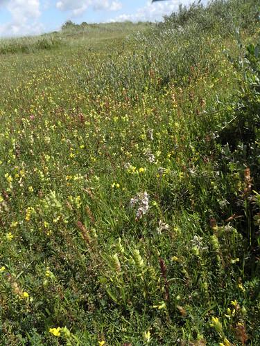 Rhinantho-Orchietum morionis (Associatie van Harlekijn en Ratelaar)