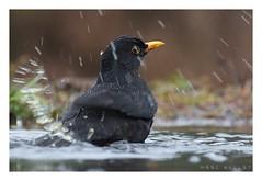 Turdus merula - Eurasian Blackbird (Marc Nollet) Tags: nederland turdusmerula hbn blackbird han merel ommen merlenoir bouwmeester nollet schuilhut vogelfotografie hutfotografie