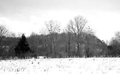 murder of crows (Farmographer) Tags: trees snow tree bird birds crow crows