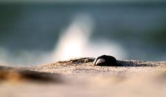 Muschel im Sand (gutlaunefotos ☮) Tags: strand sand meer muschel